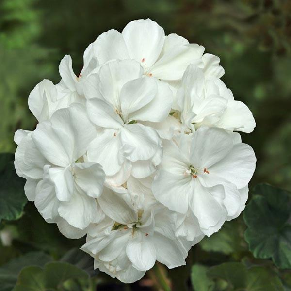Zonal Geranium 'Fantasia White'
