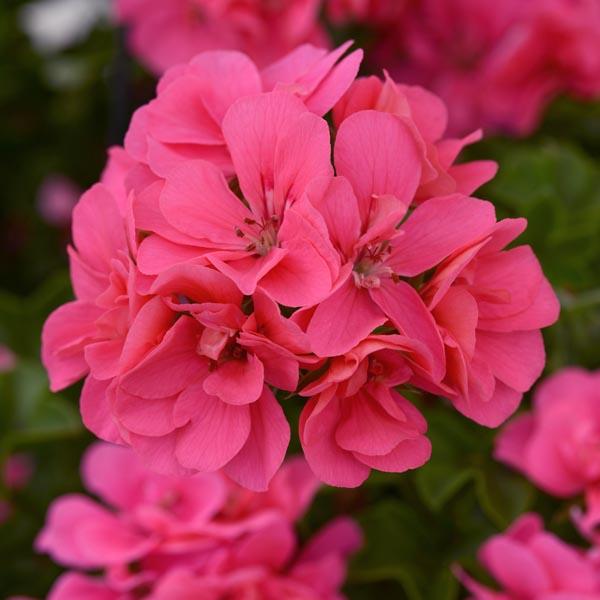 Ivy Geranium 'Precision Pink Flamingo'