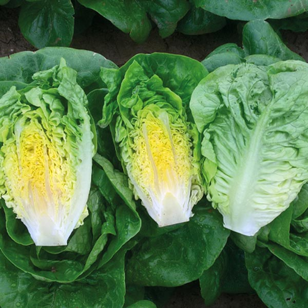 Lettuce 'Alcazaba' mini head romaine