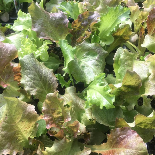Lettuce 'Super Frilly Mix'