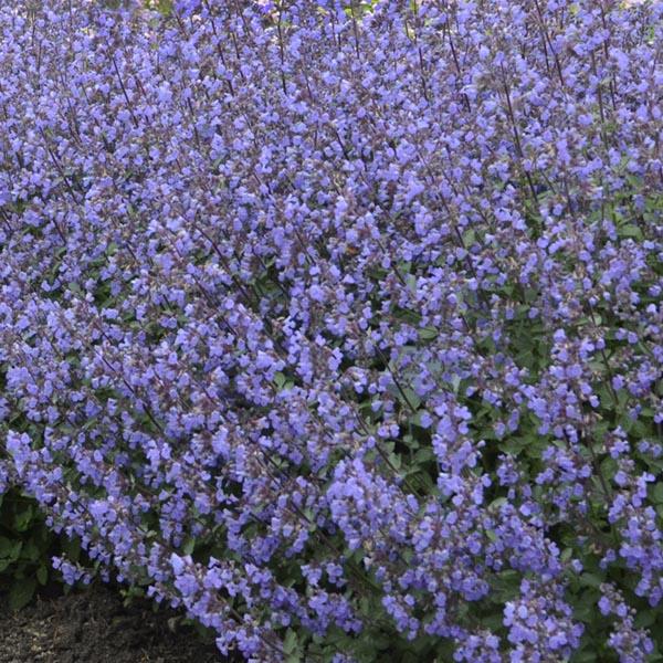 Catmint 'Purrsian Blue' (Nepeta cataria)