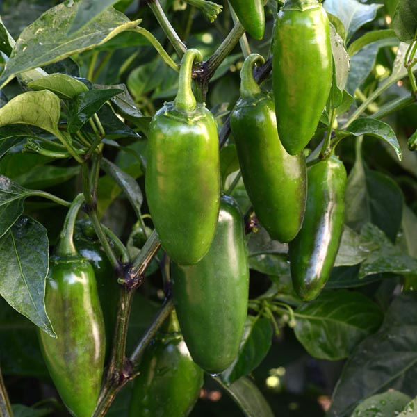 Pepper (Hot) 'La Bomba II'