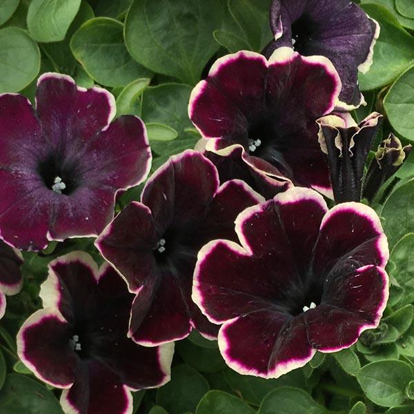 Petunia 'Crazytunia French Kiss'