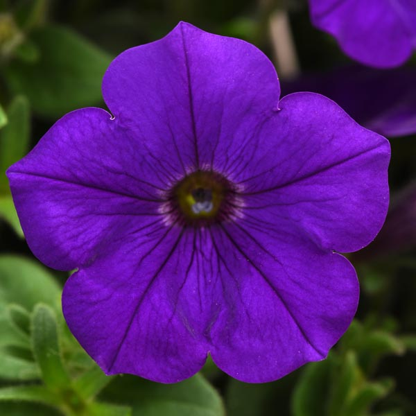 Petunia 'Headliner Blue'