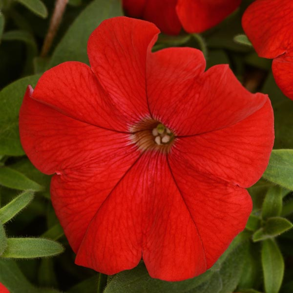 Petunia 'Headliner Red'
