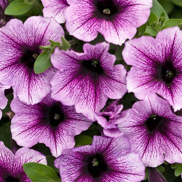 Petunia 'Supertunia Bordeaux'