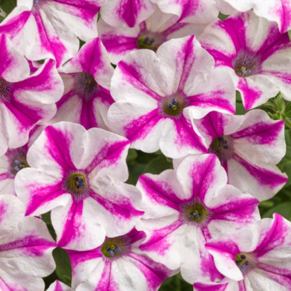 Petunia 'Supertunia Lovie Dovie'