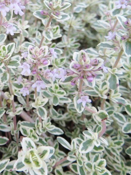 Thyme 'Silver Posie' (Thymus species)