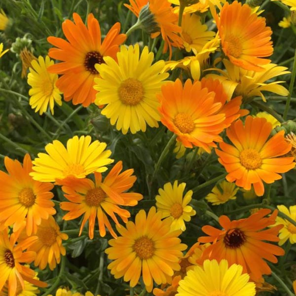 Calendula officinalis 'Simplicity Mix'