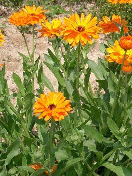 Calendula (calendula officinalis)