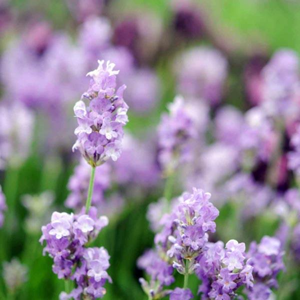 Lavender 'Cedar Blue' (Lavandula angustifolia)