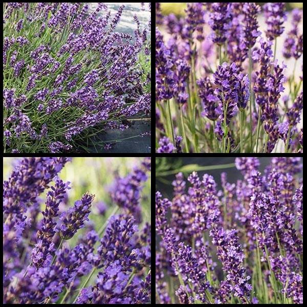 Lavender 'Forever Blue' (Lavandula angustifolia)