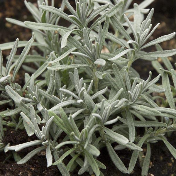 Lavender 'Imperial Gem' (Lavandula angustifolia)