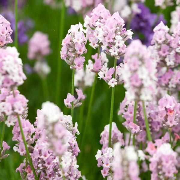 Lavender 'Miss Katherine' (Lavandula angustifolia)