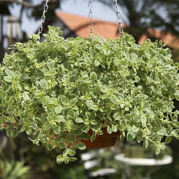 Oregano 'Aureum Variegata' (Origanum vulgare variegata)