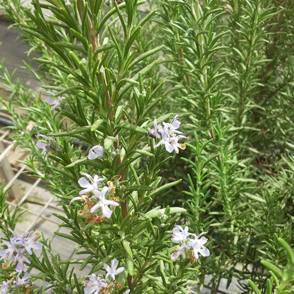Rosemary Upright 'Speedy' (Rosmarinus officinalis)