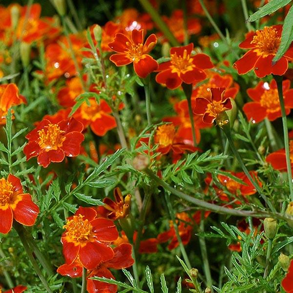 Tagetes tenuifolia 'Paprika' Marigold