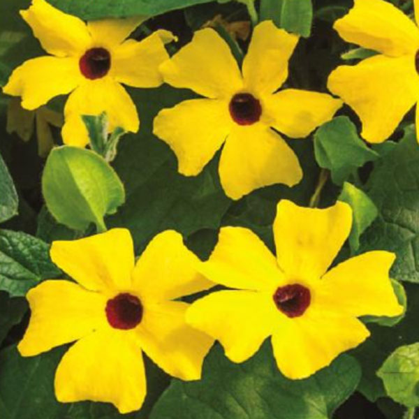 Thunbergia 'Arizona Lemon Sunrise'