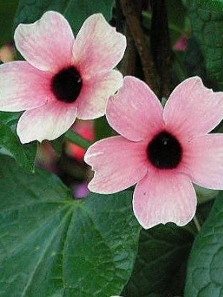 Thunbergia 'Arizona Pink Beauty'