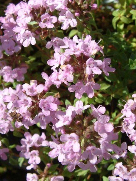 Thyme 'Caraway' (Thymus herba-barona)