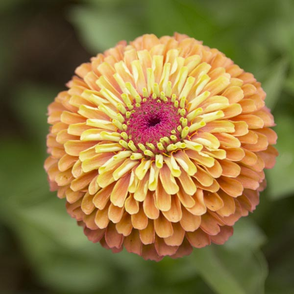 Zinnia elegans 'Queeny Lime Orange' (AAS)