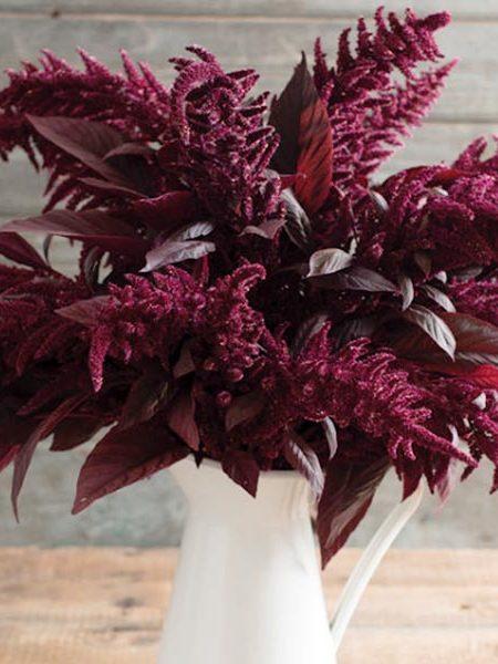 Amaranthus cruentus 'Red Spike'