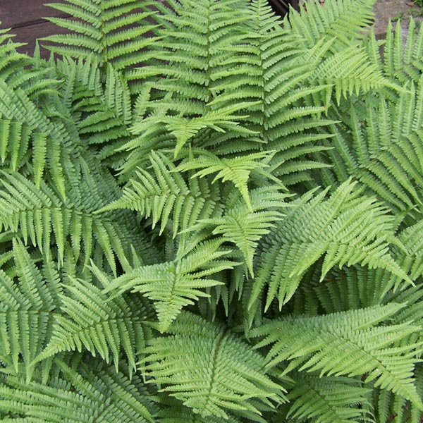 Dryopteris filix-mas Male Fern (hardy)