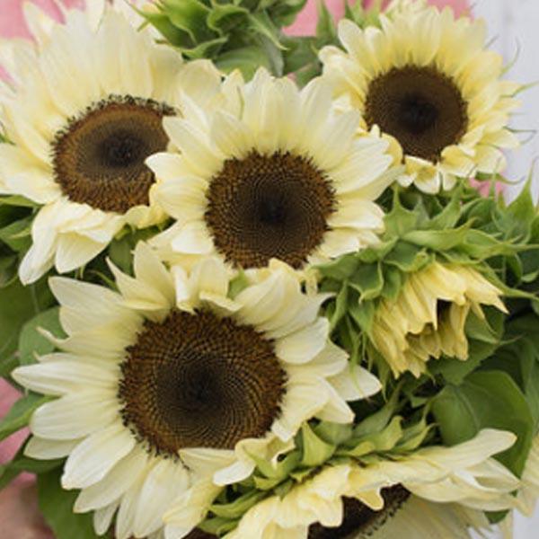 Helianthus hybridus F1 'ProCut White Nite' Sunflower