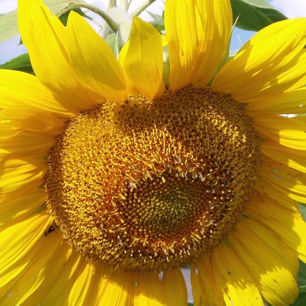 Helianthus annuus 'Mammoth Gray Stripe' Sunflower