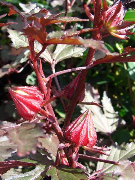 Hibiscus acetosella 'African Rose'