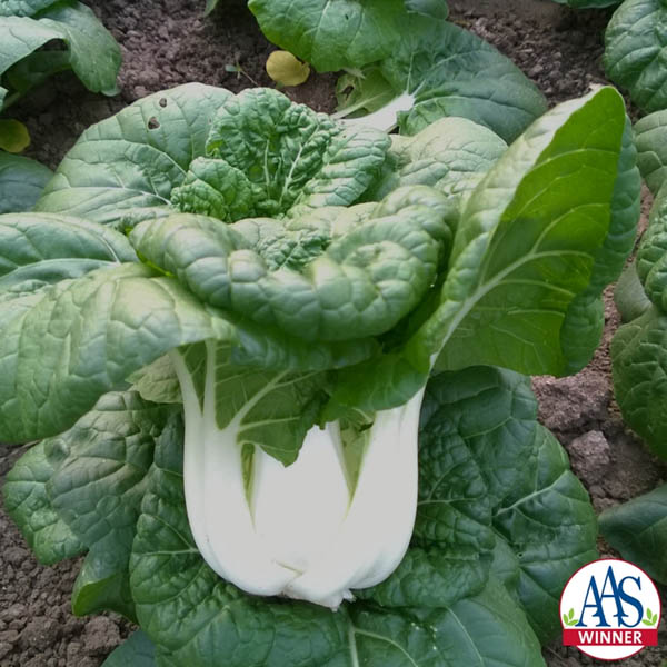 Pac Choi 'Asian Delight' (AAS)