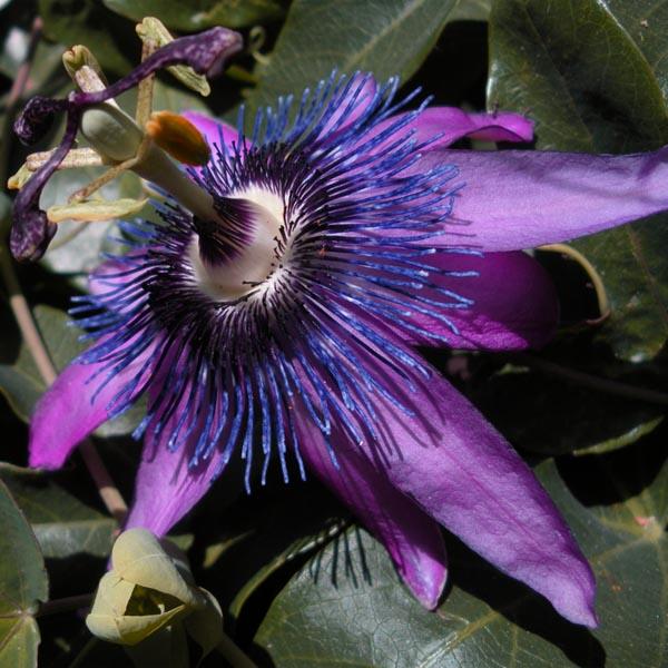 Passiflora 'Aphrodite's Purple Nightie'