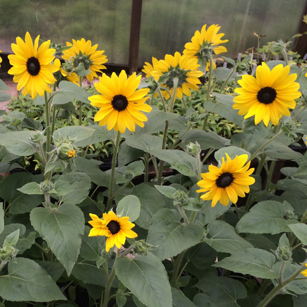 Sunfinity™ Sunflowers