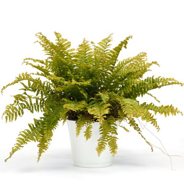 Nephrolepis exaltata 'Blond' Boston Gold Fern (tender)