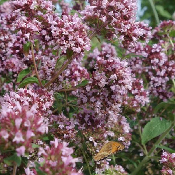 Marjoram 'Wild' (Origanum vulgare)