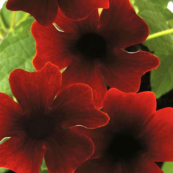 Thunbergia 'Sunny Susy Brownie'