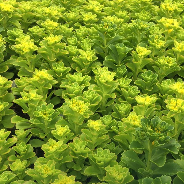 Sedum kamtschaticum (stonecrop)