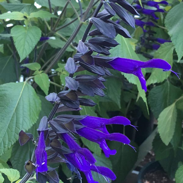 Salvia guaranitica 'Amistad'