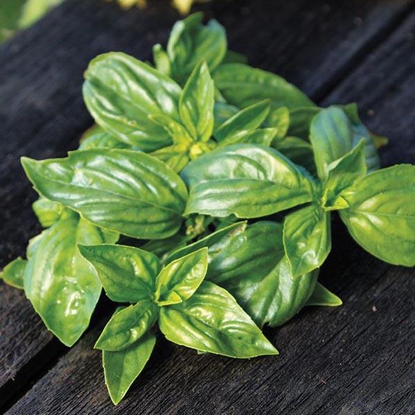 Basil 'Keira' (Ocimum basilicum)