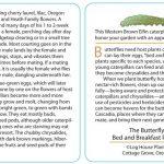 Butterfly 12 - Western Brown Elfin