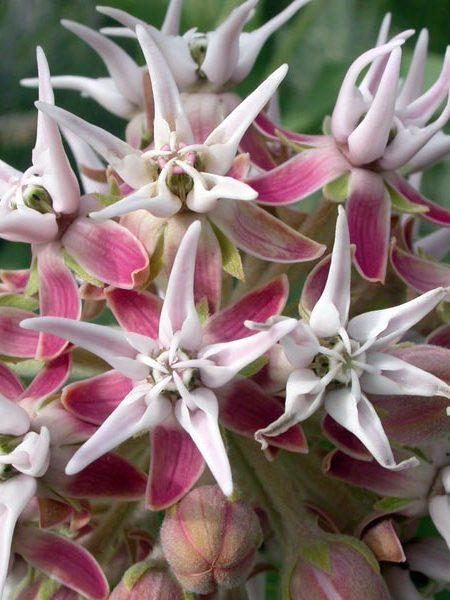 Asclepias speciosa (showy milkweed)