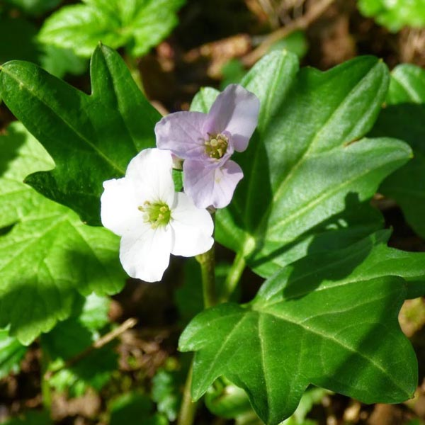 Cardamine angulata