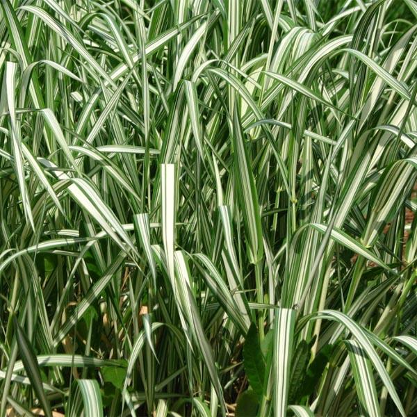 Phalaris arundinacea 'Feesey's Variety'