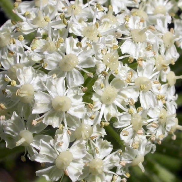 Heracleum lanatum (cow parsnip)