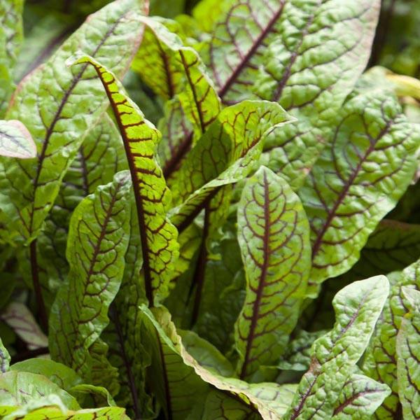 Rumex sanguineus ssp. sanguineus