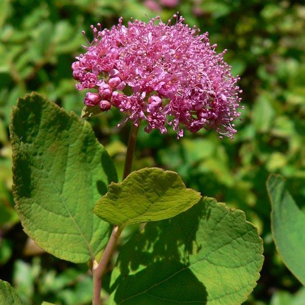 Spirea densiflora
