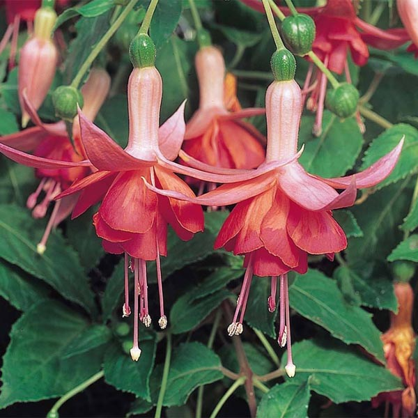 Trailing fuchsia 'Dancing Flame'