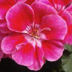 Zonal Geranium 'Fantasia Strawberry Sizzle'