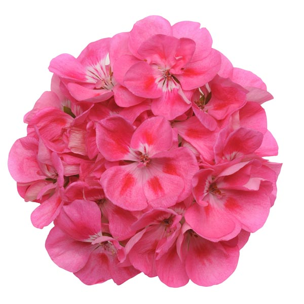 Zonal Geranium 'Presto Pink Plus Eye'