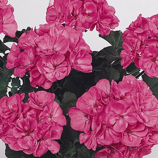 Zonal Geranium 'Presto Pink'